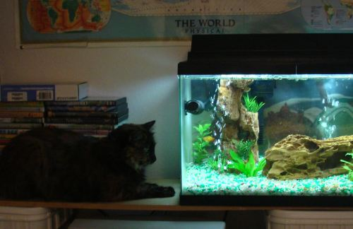My cat watching the fish tank